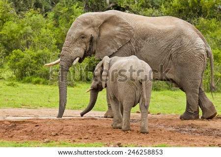 Large African elephant male in Must at a water hole with his young - stock photo