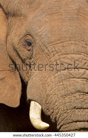 Large African elephant showing half its head with eye and tusk in view - stock photo