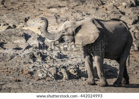 Large African elephant smelling the air for danger, Kruger National Park - stock photo
