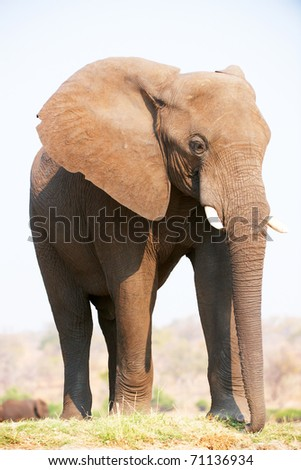 Large African elephants (Loxodonta Africana) eating in savanna in Botswana - stock photo