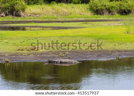 Large alligator resting on river bank at Florida Myakka River State Park. - stock photo