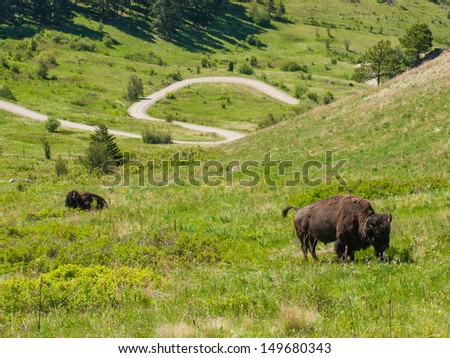 Large American Bison at the National Bison Range in Montana, USA - stock photo