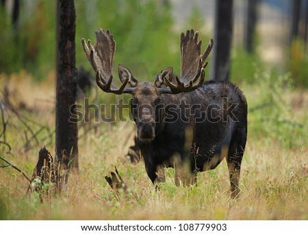 Large Antlered Bull Moose in Yellowstone National Park - stock photo