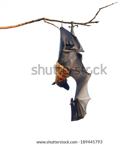 Large Bat, Hanging Flying Fox (Pteropus vampyrus), during the sleeping period in nature background - stock photo