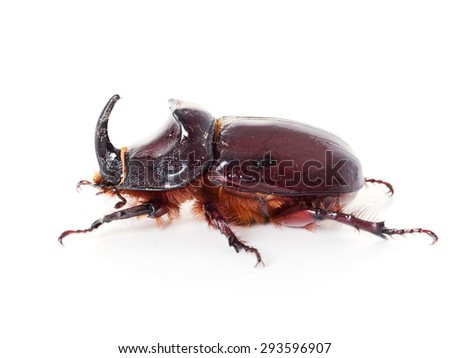 Large beetle. European rhinoceros beetle. On white. - stock photo