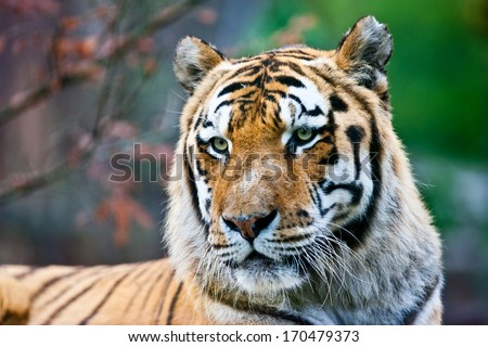 Large Bengal tiger - stock photo