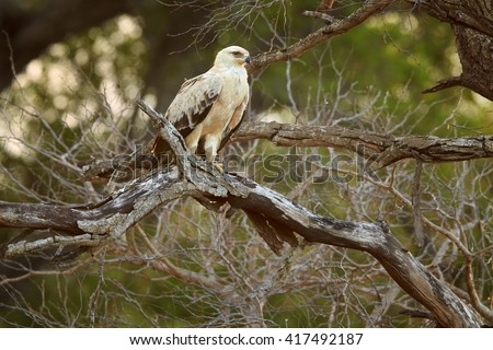Large bird of prey, Tawny eagle, Aquila rapax perched on branch  against golden light of setting sun coming through tree branches in background. Kruger national park, South Africa. - stock photo