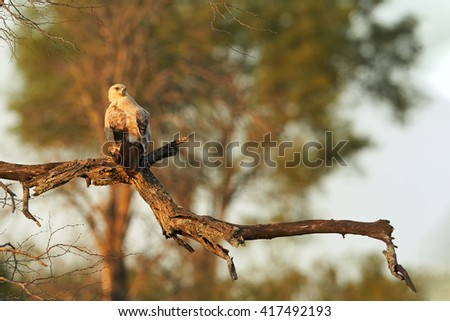 Large bird of prey Tawny eagle, Aquila rapax perched on branch lit by the setting sun against blurred tree in background. Kruger national park, South Africa. - stock photo