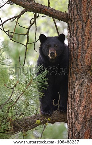 Large Black Bear treed in a large pine tree - stock photo