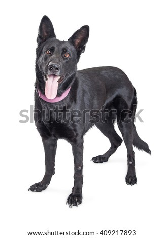 Large black mixed Shepherd breed dog standing over white background with tongue out - stock photo