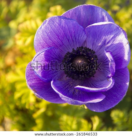 Large blue flower anemone in the garden, closeup - stock photo