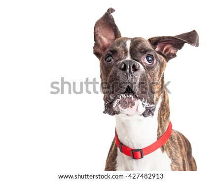 Large Boxer crossbreed dog with ears flying up while barking - stock photo