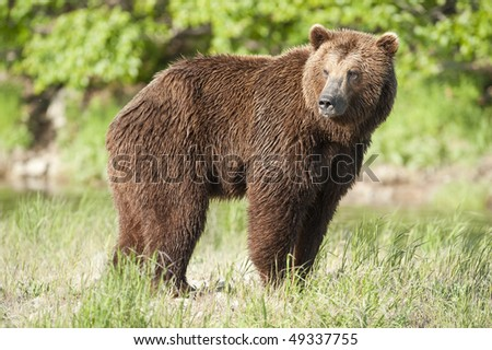 Large brown bear looking for a fishing hole. - stock photo
