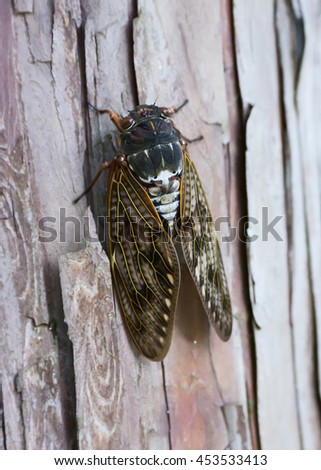 Large brown cicada on tree trunk. - stock photo