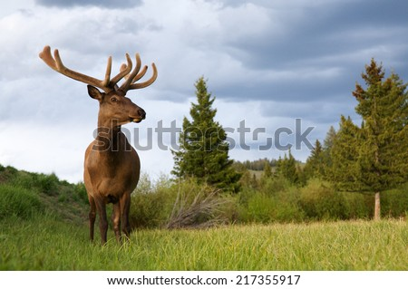 Large Bull Elk Stag in Yellowstone National Park meadow antlers in velvet environmental portrait family summer vacation wildlife viewing in Lamar Valley, Wyoming Rocky Mountain - stock photo