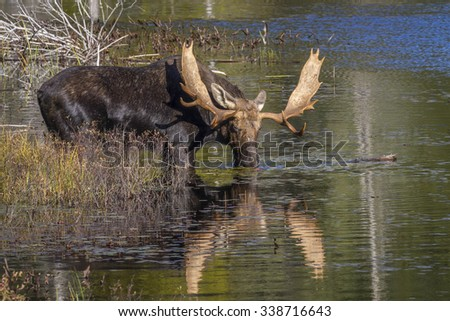Large Bull Moose (Alces alces) Feeding on Water Lilies Near the Shore of a Lake in Autumn - Algonquin Provincial Park, Ontario, Canada - stock photo
