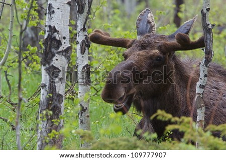 Large Bull Moose in a forest of Aspen trees, Grand Teton National Park, in spring, with the antlers just forming and covered in velvet; near Jackson, Wyoming, and Jackson Lake - stock photo