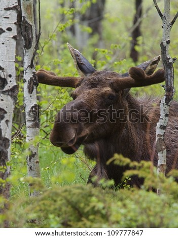 Large Bull Moose in a grove of Aspen trees, Grand Teton National Park, in spring, with the antlers just forming and covered in velvet; near Jackson, Wyoming, and Jackson Lake - stock photo