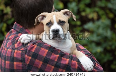 Large Bulldog Mix Puppy Being Held by Human Friend - stock photo