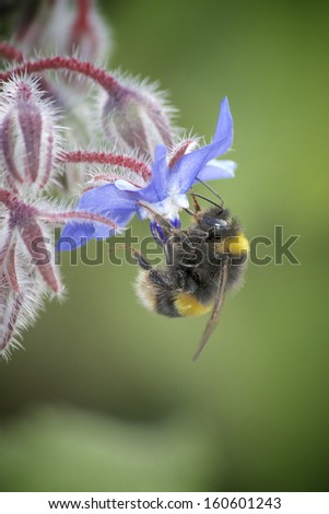 Large Bumble bee on Blue Flower  - stock photo