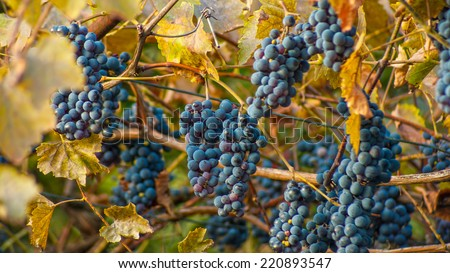Large bunch of red wine grapes hang from a vine. Ripe grapes with green leaves. Wine concept - stock photo