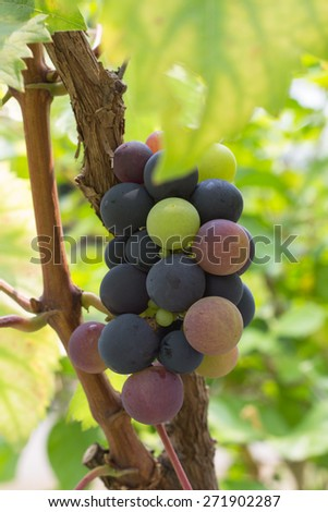 Large bunch of red wine grapes hang from a vine, warm. Ripe grapes with green leaves. - stock photo