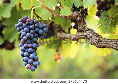 Large bunch of red wine grapes hanging from an old vine in warm afternoon light - stock photo