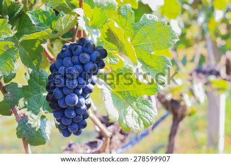 large bunches of wine grapes hang from a vine, at Vineyard - stock photo