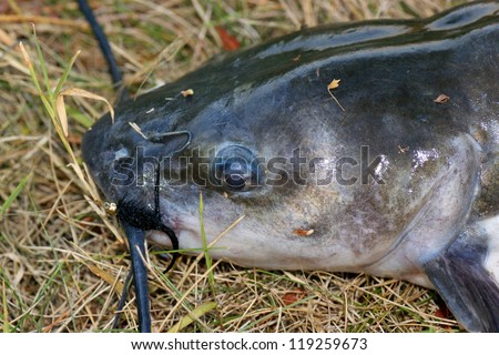 """Large catfish caught fly fishing - close up of head and lure (""""wooly bugger"""" fly) - stock photo"""