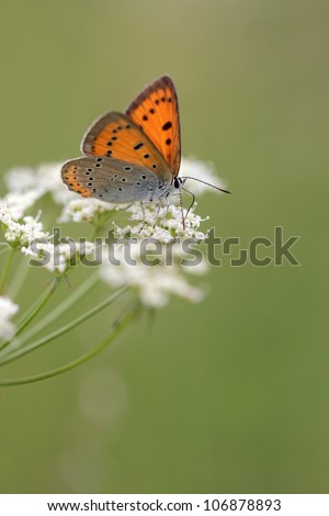 Large Copper butterfly Lycaena dispar on Anthriscus sylvestris, known as Cow Parsley, Wild Chervil, Wild Beaked Parsley, Keck, or Queen Anne's lace or Mother-die - stock photo