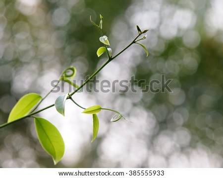 large creeping plant in tropical zone, with yellow aroma flower, ANNONACEAE, Artabotrys hexapetalus (L.f.) Bhandari. close up under natural sunlight and outdoor bokeh background - stock photo