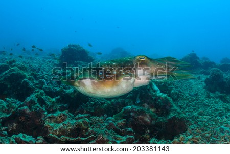Large Cuttlefish swims over a tropical reef - stock photo