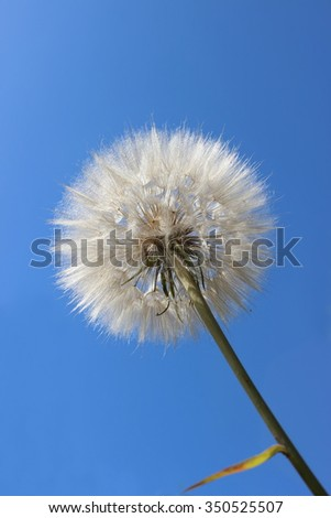 large dandelion on blue sky background    - stock photo