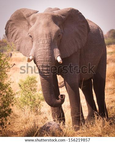 Large Elephant in African savannah - stock photo