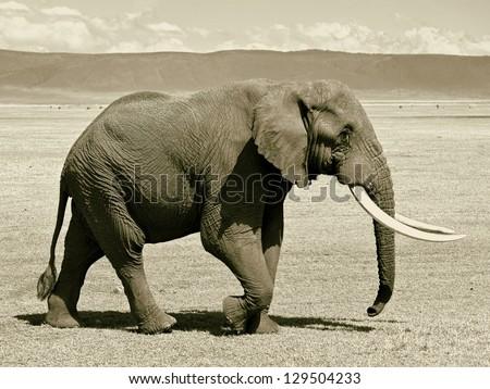 Large elephant in the Crater Ngorongoro National Park  - Tanzania (stylized retro) - stock photo