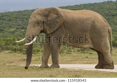 Large elephant standing on some gravel eating some green grass - stock photo