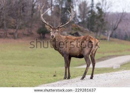 Large Elk - stock photo