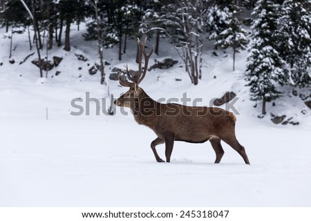 Large elk in a forested, winter scene - stock photo