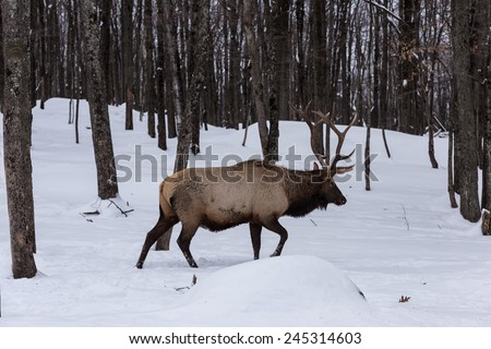 Large elk in the woods - stock photo