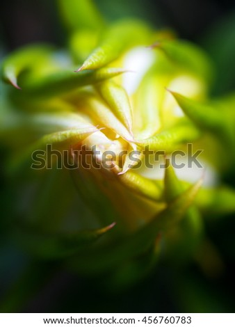 large exotic beautiful white/yellow flowers of white Dragon Fruit tree, Cactaceaeplant, growing on the tree outdoor shallow DoF closeup with dark green surrounding background under natural sunlight - stock photo