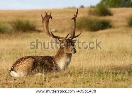 Large Fallow Buck lazing in the Sun - stock photo