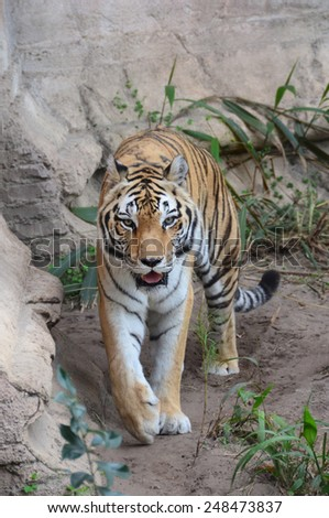 Large female tiger in a zoo - stock photo