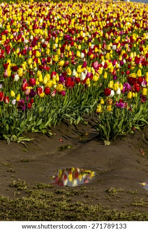 Large field of rows of multi-colored tulips blooming on tulip bulb farm - stock photo