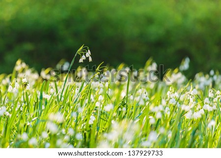 Large field with white blossoming snowdrops in spring - stock photo