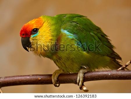 Large Fig Parrot (Psittaculirostris desmarestii) - stock photo