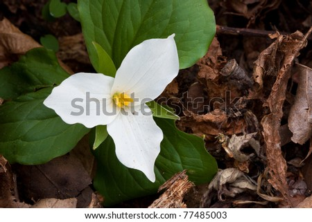 large-flowered trillium spreads its petals on the forest floor. trillium is nestled close to the ground as it struggles to grow. - stock photo