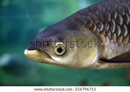 Large freshwater fish ( Siamese Barb ) swimming - stock photo