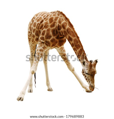 large giraffe isolated on a white background leaned over to pick up a branch - stock photo