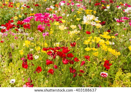 Large glade of multi-colored anemones - stock photo