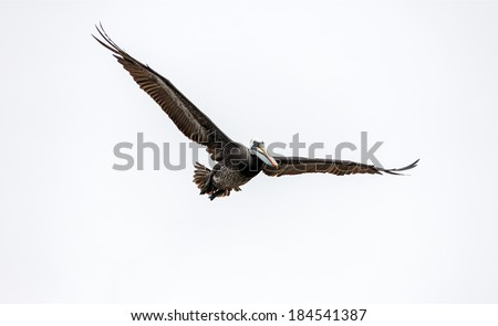 Large gray pelican looking for food in the fish port in Valparaiso - Chile - stock photo